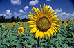 SunFlower Field : ��觷ҹ���ѹ